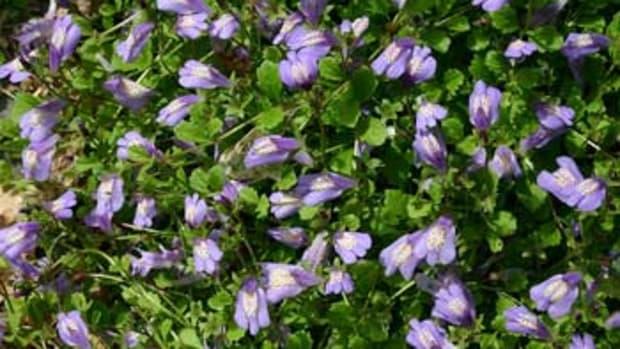 Creeping mazus flowers