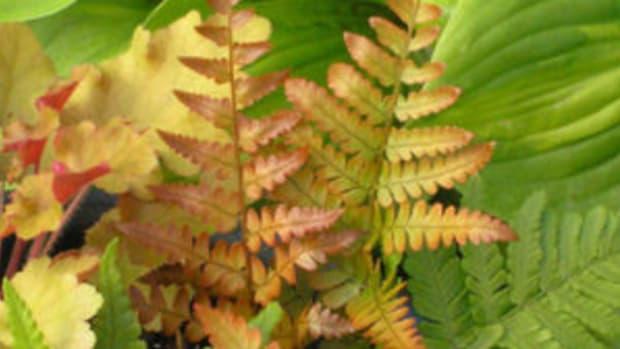 'brilliance' autumn fern