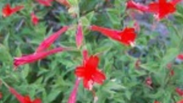 Humminbird trumpet (Epilobium canum ssp. garrettii