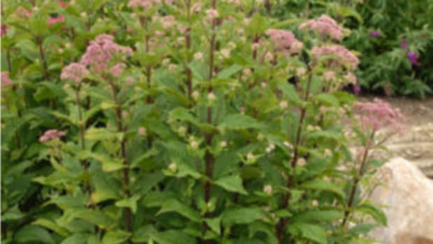 'little joe' joe pye weed
