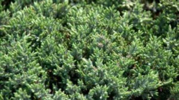 silver mist juniper