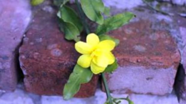 yellow-flowered vine carolina jessamine