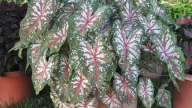 Fire and Ice Caladium Horticulture