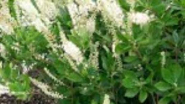 Summersweet clethra alnifolia