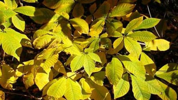 Buckeye Foliage