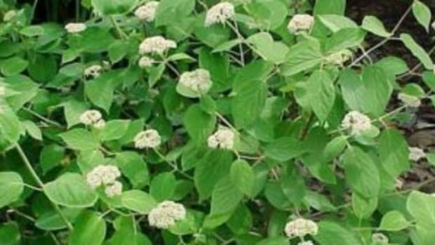 Hydrangea arborescens 'Total Eclipse' not named for total solar eclipse