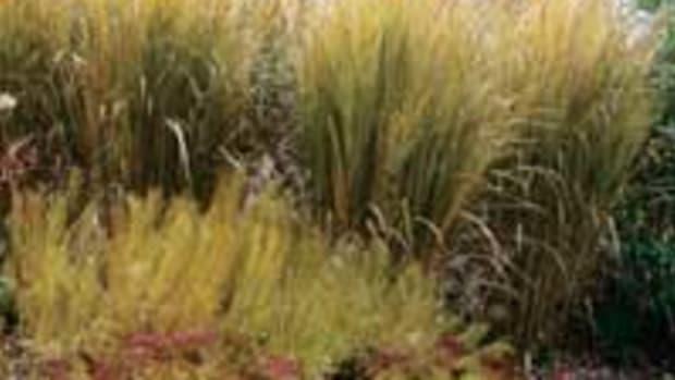 NorthwindSwitchgrass