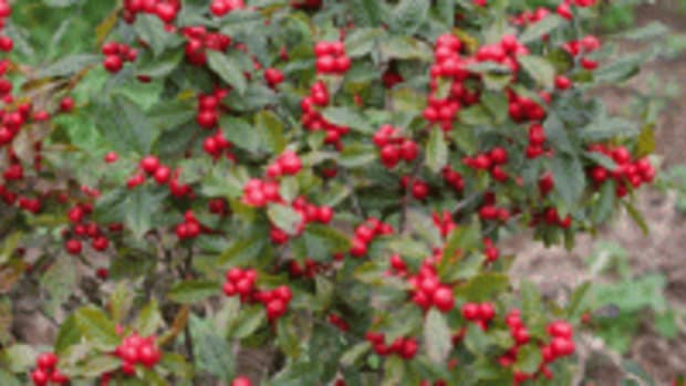 Little Goblin Red winterberry holly
