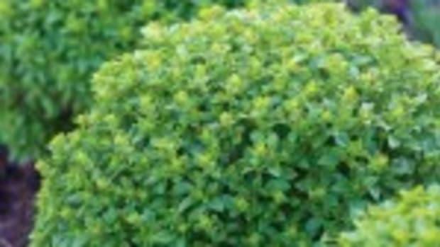 boxwood basil