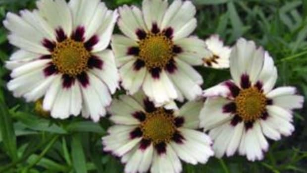 star cluster coreopsis