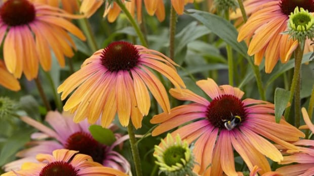 Butterfly 'Rainbow Marcella' Coneflower