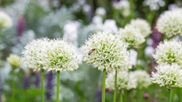 white-flowered allium mount everest