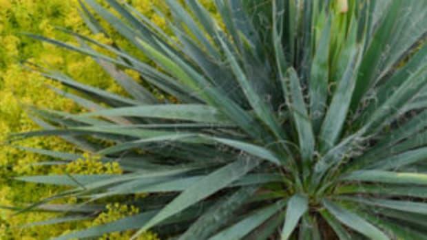 Excalibur yucca