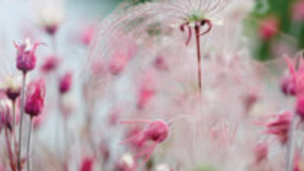 beautiful death prairie smoke geum triflorum