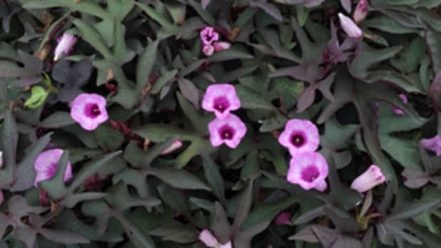 purple potato vine flora mia nero