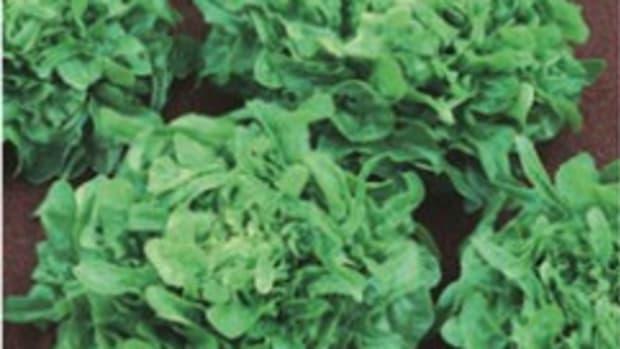 Sandy lettuce