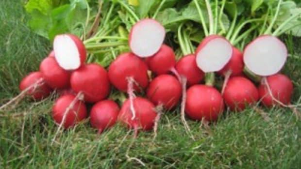 roxanne radish