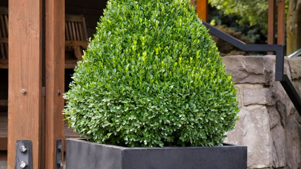 5761-petite-pillar-dwarf-boxwood-container