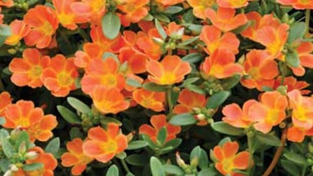 'Pazazz-Tangerine'
