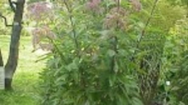 Joe-pye weed (Eupatorium purpureum