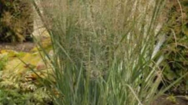 Switchgrass Panicum virgatum Northwind