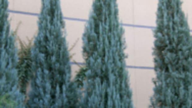 blue juniper