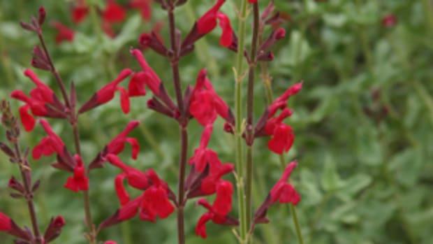Salvia-Windwalker-Horticulture-magazine
