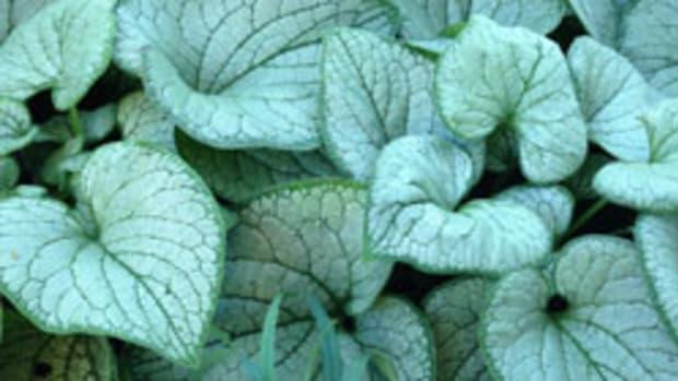 silver heart bugloss
