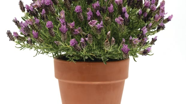 'Bandera Purple' Spanish Lavender