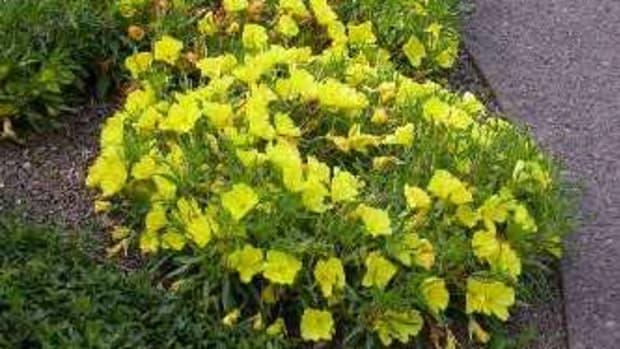 Missouri Primrose (Oenothera macrocarpa)