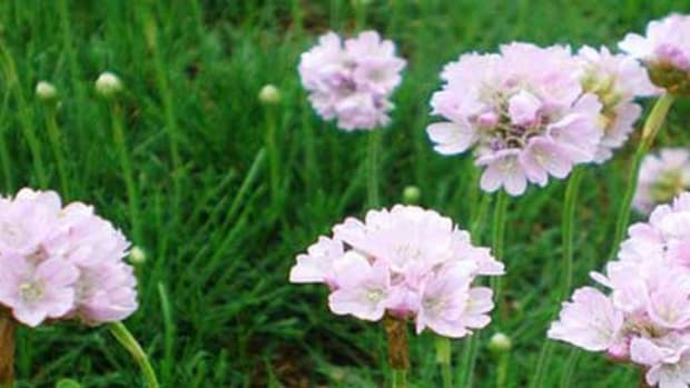 sea thrift armeria maritima