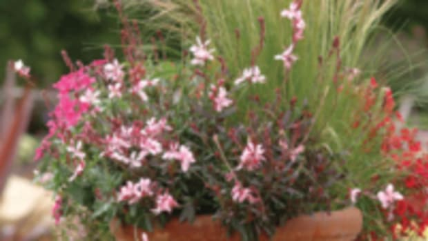 karalee petite pink gaura
