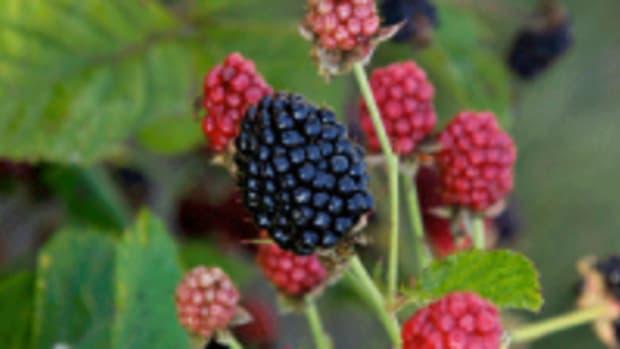 thornless blackberry Baby Cakes
