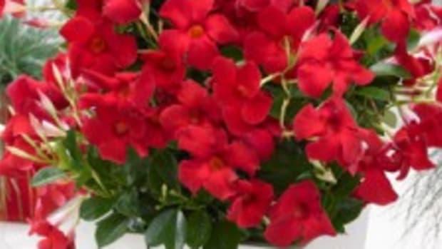 Sundenia-Dipladenias-Red