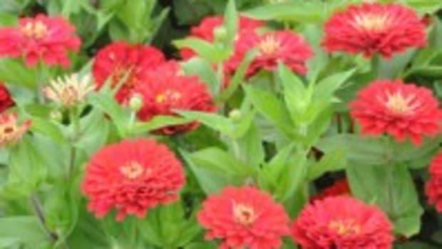 dreamland red zinnia