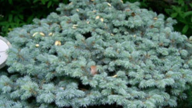 dwarf conifer globosa blue spruce
