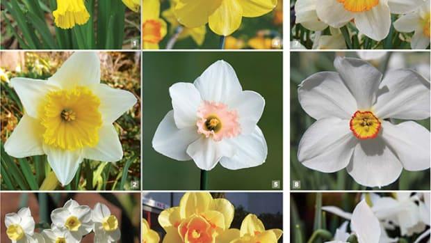 daffodilsSampler