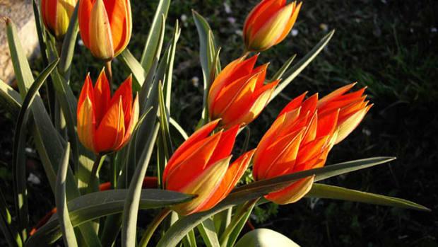 Tulipa.whittallii