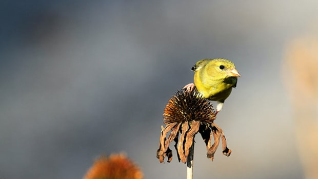 goldfinchseedhead