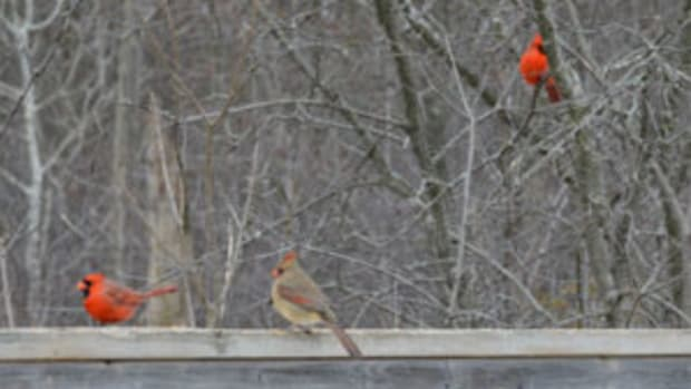 Northern cardinals will visit a bird feeder but they also enjoy foraging for seeds and nuts on the ground.