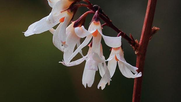 Abeliophyllum_distichum_03