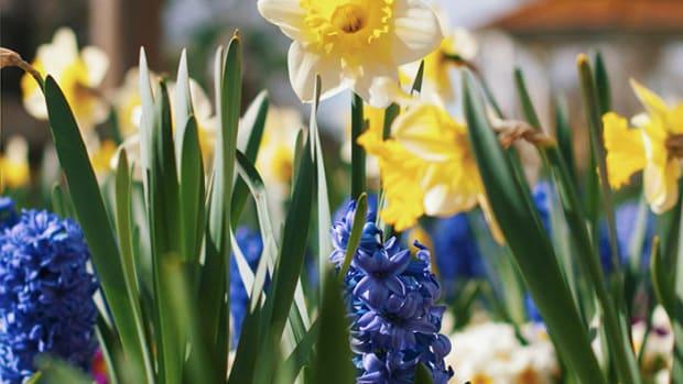 floweringbulbs