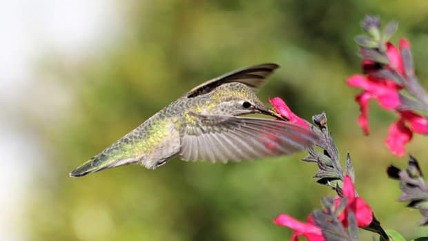 HummingbirdAutumnSage
