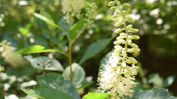 ClethraAlnifolia