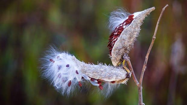 milkweedpod