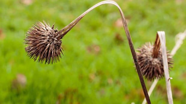 EchinaceaSeedhead