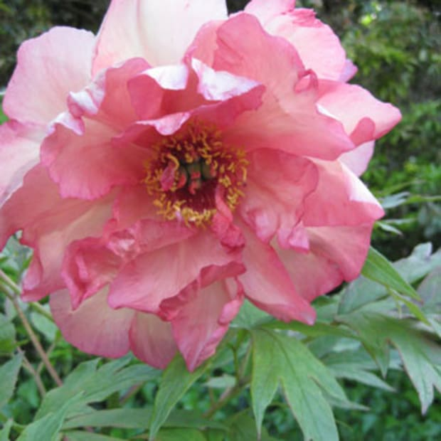 hesperus peony flower