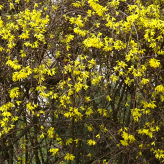 forsythia alternatives