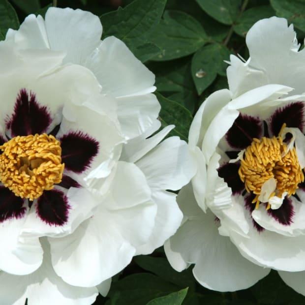 Purple Lotus: a Giant, Gorgeous Tree Peony