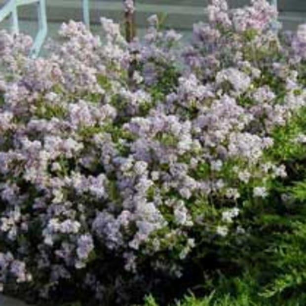 dwarf korean lilac syringa meyeri palibin
